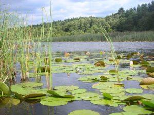 Seerosenfelder - Hotspot beim Karpfenangeln