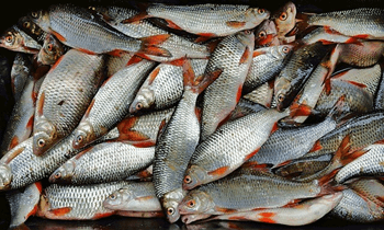 Köderfische